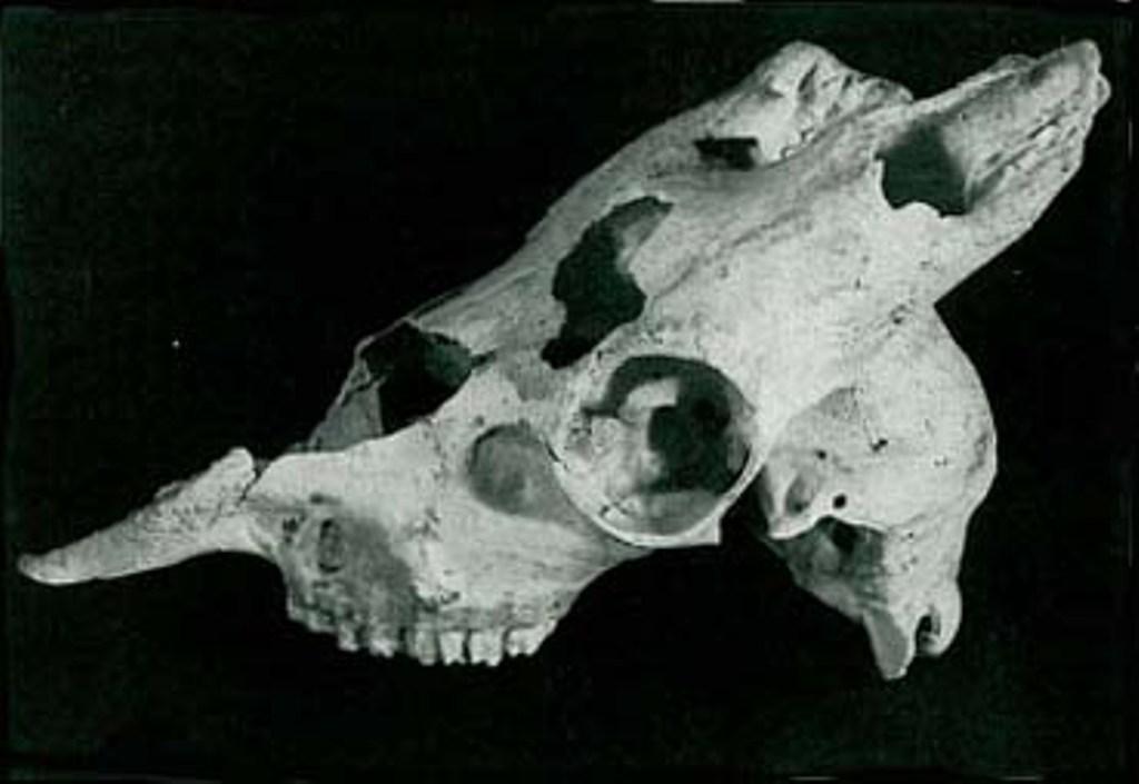 Il cranio di stambecco rinvenuto nella Grotta del Fiume
